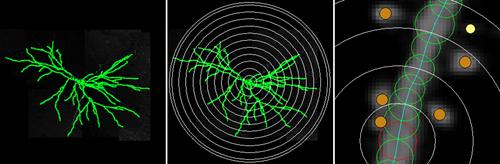 Neuronstudio-Sholl-Analysis