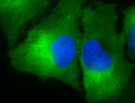 HSP90 Antibody ICC HeLa