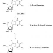 Chemical Equation of the Oxidation of Guanosine for the DNA Damage (8-OHdG) ELISA kit StressXpress - SKT-120