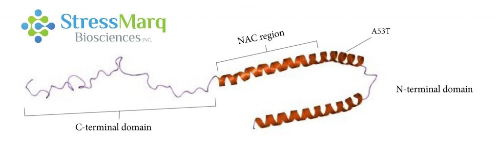 Alpha Synuclein consists of three main regions, the C-terminal region, the NAC region, and the N-terminal region. The A53T mutation is found in the N-terminal region.