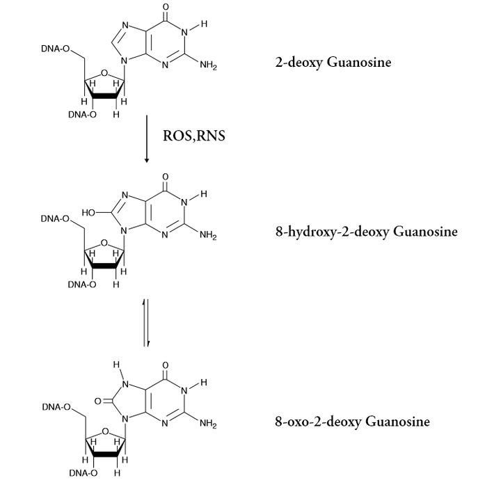 <p>Chemical Equation of the Oxidation of Guanosine</p>