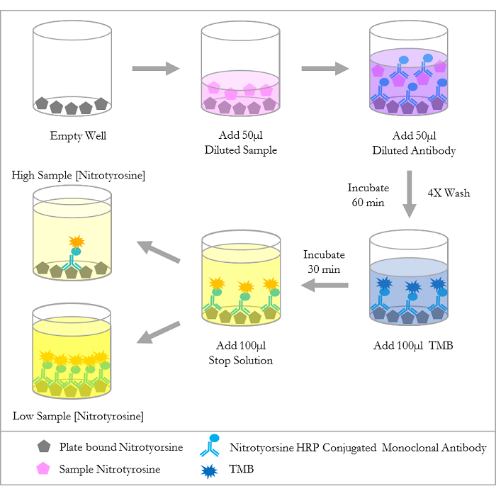 <p>Diagram of the Competitive ELISA</p>