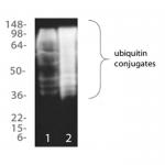 SKT-131_Ubiquitin_Detection_Kit_WB.png