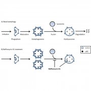 Diagram of the Basal Autophagy and the effect of bafilomycin A1 for the Autophagy Flux Detection Kit StressXpress - SKT-135