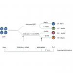 SKT-135_Autophagy_Flux_Detection_Kit_Experimental_timeline_Fig2.png