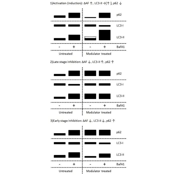 Autophagy Flux Detection Kit Stressxpress 174 Skt 135