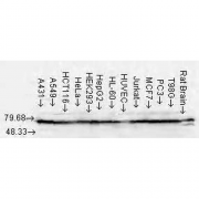 Mouse Anti-Hsp70 Antibody [N27] used in Western Blot (WB) on Human Cell lysates (SMC-104)
