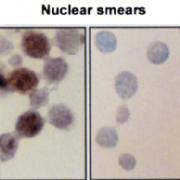 Mouse Anti-Hsp70 Antibody [BB70] used in Immunocytochemistry/Immunofluorescence (ICC/IF) on Rat hepatocyte nuclei (SMC-106)