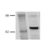 Mouse Anti-Hsp70 Antibody [BB70] used in Western Blot (WB) on Bovine MDBK cell lysates (SMC-106)