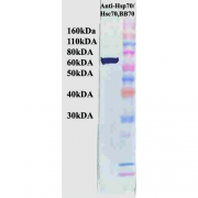 Mouse Anti-Hsp70 Antibody [BB70] used in Western Blot (WB) on Human HeLa cell lysates (SMC-106)
