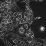SMC-110_Hsp60_Antibody_LK-1_ICC-IF_Human_HaCaT-cells_1.png