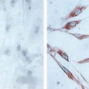 Mouse Anti-Hsp60 Antibody [LK1,] used in Immunocytochemistry/Immunofluorescence (ICC/IF) on Human skin Fibroblasts (SMC-110)
