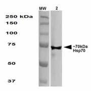 Mouse Anti-Hsp70 Antibody [1.86] used in Western Blot (WB) on Human HEK293 cell lysate (SMC-113)