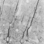SMC-123_PSD95_Antibody_7E3_IHC_Rat_Neocortex_1.png