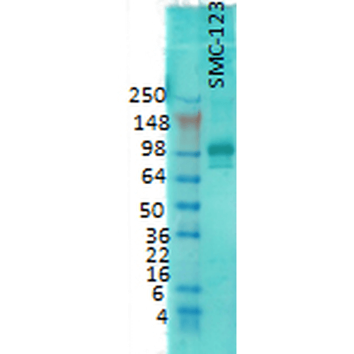 <p>Western Blot analysis of Rat brain membrane lysate showing detection of PSD95 protein using Mouse Anti-PSD95 Monoclonal Antibody, Clone 7E3 (SMC-123). Primary Antibody: Mouse Anti-PSD95 Monoclonal Antibody (SMC-123) at 1:1000.</p>