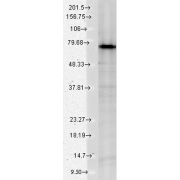 Mouse Anti-Grp75 Antibody [S52A-42] used in Western Blot (WB) on Human HeLa cell lysates (SMC-133)