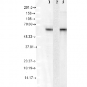 Mouse Anti-Hsc70 Antibody [1F2-H5] used in Western Blot (WB) on Human Cell lysates (SMC-151)