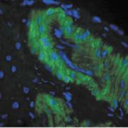 Mouse Anti-Nitrotyrosine Antibody [39B6] used in Immunohistochemistry (IHC) on Rat liver tissue  (SMC-154)
