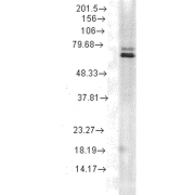 Mouse Anti-Hsp70 Antibody [5A5] used in Western Blot (WB) on Rat skeletal muscle tissue lysate (SMC-162)