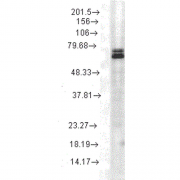 Mouse Anti-Hsp70 Antibody [3A3] used in Western Blot (WB) on Rat cell lysates (SMC-164)