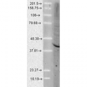 Rat Anti-Aha1 Antibody [25F2.D9] used in Western Blot (WB) on Human Cell lysates (SMC-172)
