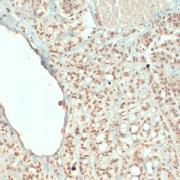 Mouse Anti-Synaptophysin Antibody [EP10] used in Immunohistochemistry (IHC) on Human Cerebellum (SMC-178)