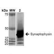 Mouse Anti-Synaptophysin Antibody [EP11] used in Western Blot (WB) on Human Brain (SMC-178)