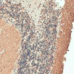 SMC-179_VAMP_Antibody_SP-11_IHC_Human_Cerebellum_1.png
