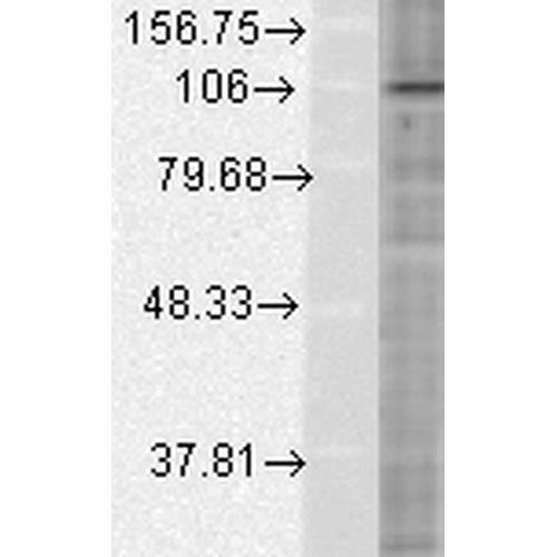 HIF1 alpha Antibody: ATTO 594