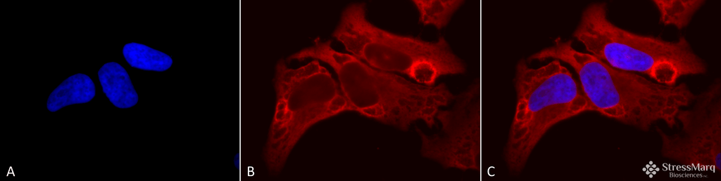 HIF2 alpha Antibody: ATTO 655