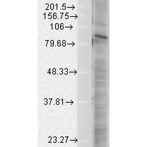 HIF2 alpha Antibody: ATTO 565