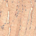 SMC-194_Tsp23_Antibody_TSp232A_IHC_Mouse_Heart-Skeletal-Muscle_1.png
