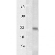 Mouse Anti-Tsp23 Antibody [TSp232A] used in Western Blot (WB) on Human Heat Shocked HeLa cell lysates (SMC-194)