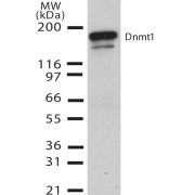 Mouse Anti-DNMT1 Antibody [60B1220.1] used in Western Blot (WB) on Human H1299 cell lysate (SMC-200)