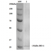 Mouse Anti-HO-1 (Rat) Antibody [6B8-2F2] used in Western Blot (WB) on Human, Mouse, Rat Rat Kidney Lysate (SMC-234)