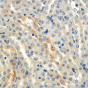 Mouse Anti-ENaC alpha Antibody [2G4] used in Immunohistochemistry (IHC) on Mouse Kidney (cortex) (SMC-239)