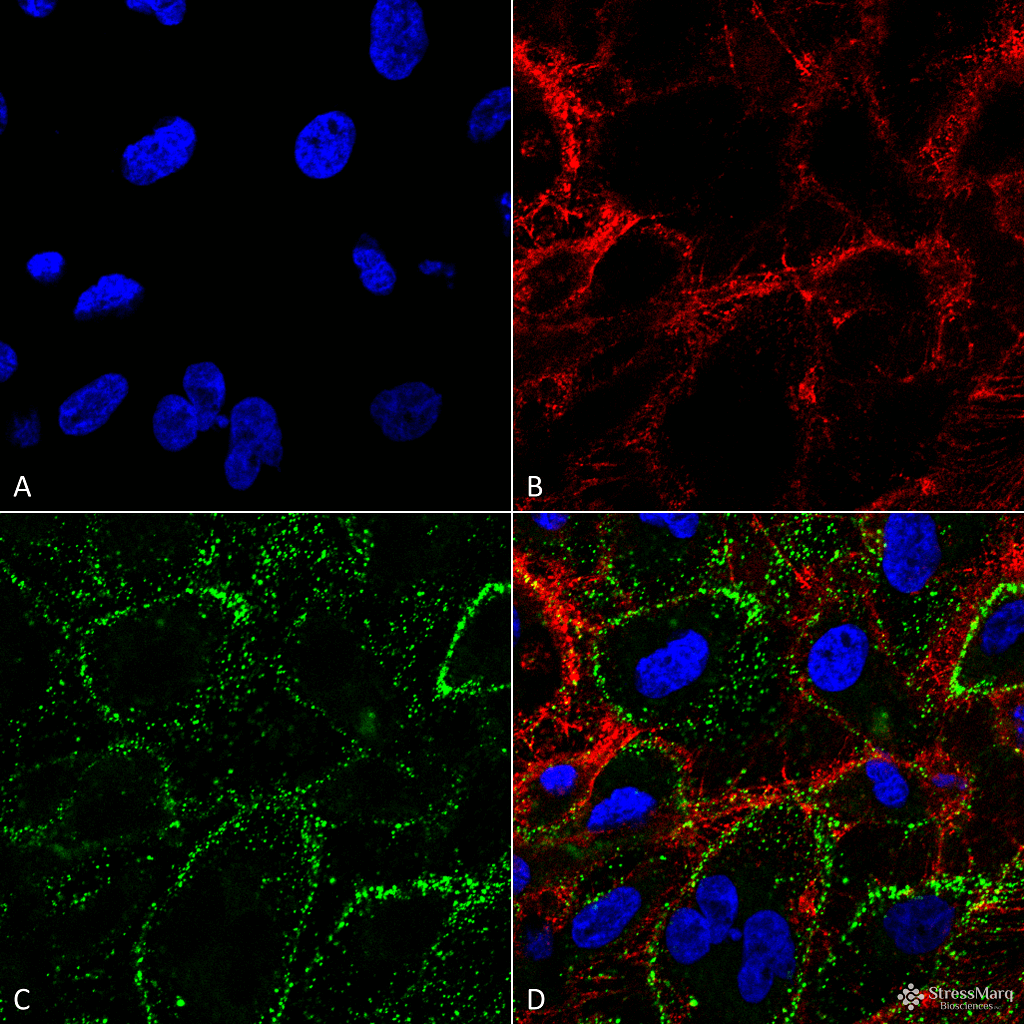 <p>Immunocytochemistry/Immunofluorescence analysis on non-permeabilized HCT116 cells using Mouse Anti-HSP70 Monoclonal Antibody, Clone 1H11: FITC conjugate (SMC-249D-FITC) showing cell membrane staining. Tissue: HCT116 cells. Species: Human. Fixation: 4% Formaldehyde. Permeabilization: None. Primary Antibody: Mouse Anti-HSP70 Monoclonal Antibody (SMC-249) at 1:100. Counterstain: Wheat germ agglutinin Texas red membrane marker; DAPI (blue) nuclear stain. Localization: Cell surface, cell membrane. (A) DAPI nuclear stain. (B) Wheat germ agglutinin Texas red. (C) HSP70 Antibody. (D) Composite. Courtesy of: Lawrence Hightower, Charles Giardina, and Didem Ozcan from University of Connecticut.</p>