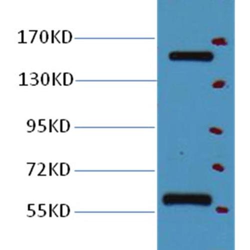 CD45 Antibody: ATTO 655