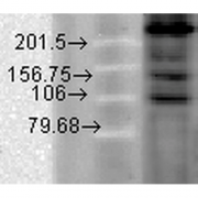Mouse Anti-CaV1.2 Calcium Channel Antibody [S57-46] used in Western Blot (WB) on Hamster T-CHO cell lysate (SMC-300)