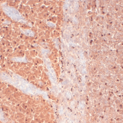 Mouse Anti-CaV3.2 Calcium channel antibody [S55-10] used in Immunohistochemistry (IHC) on human frozen brain section (SMC-303)