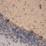 SMC-306_HCN3_Antibody_S141-28_IHC_Mouse_brain-tissue_1.png