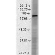 Mouse Anti-HCN3 Antibody [S141-28] used in Western Blot (WB) on Rat brain membrane lysate (SMC-306)