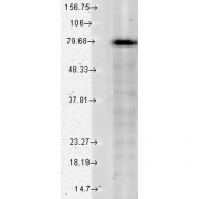 Mouse Anti-KCNQ1 Antibody [S37A-10] used in Western Blot (WB) on Human Cell lysates (SMC-307)