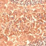 SMC-320_HCN4_Antibody_S114-10_IHC_mouse_frozen-brain-section_1.png