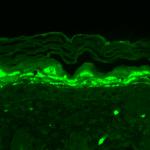 SMC-329_SHANK1_Antibody_S22-21_IHC_Mouse_backskin_1.png