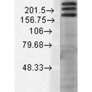 Mouse Anti-SHANK1 Antibody [S22-21] used in Western Blot (WB) on Rat brain membrane lysate (SMC-329)