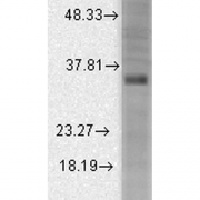 Mouse Anti-KCNMB3 Potassium Channel Antibody  [S40B-18] used in Western Blot (WB) on Rat brain membrane lysate (SMC-330)