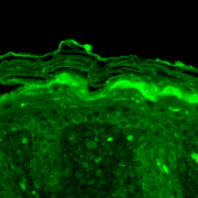 Mouse Anti-Kv3.4 Potassium Channel Antibody [S72-16] used in Immunohistochemistry (IHC) on Mouse backskin (SMC-335)