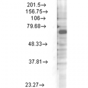 Mouse Anti-Kv3.4 Potassium Channel Antibody [S72-16] used in Western Blot (WB) on Rat brain membrane lysate (SMC-335)