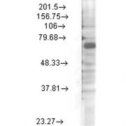 Mouse Anti-Kv3.4 Potassium Channel Antibody [S72-16] used in Western Blot (WB) on Rat brain membrane lysate (SMC-335)